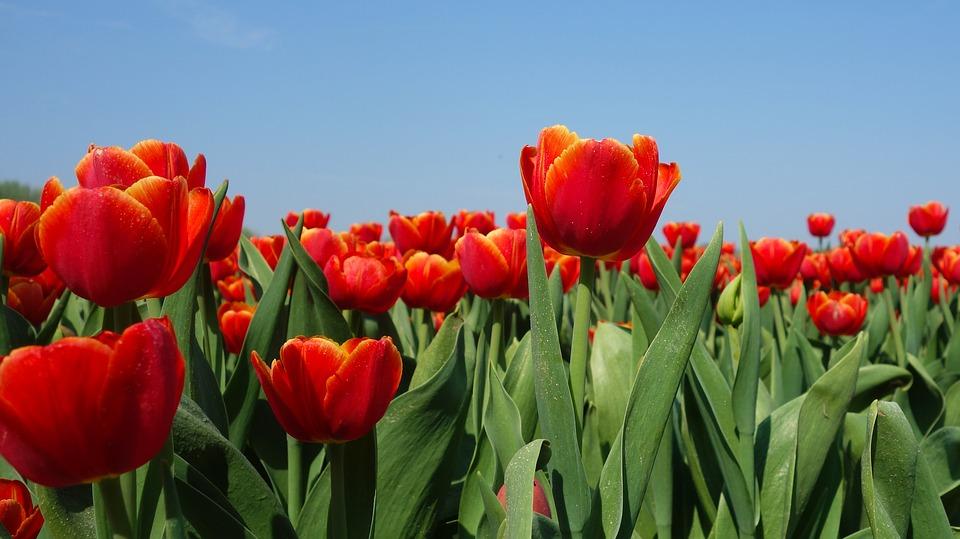 Amsterdam tulipani