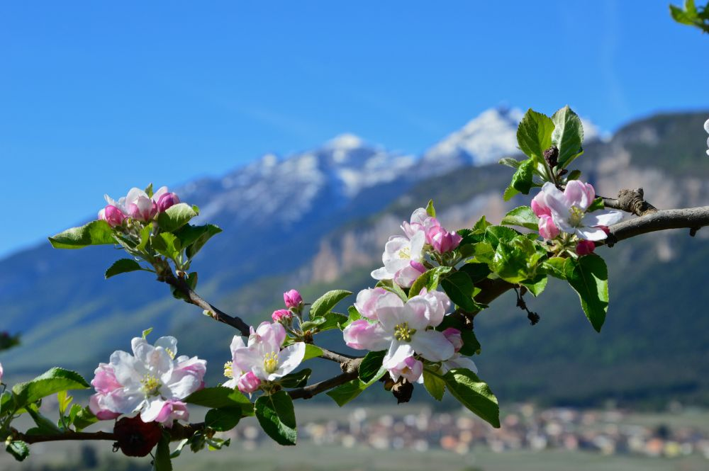 fioritura meli Val di Non